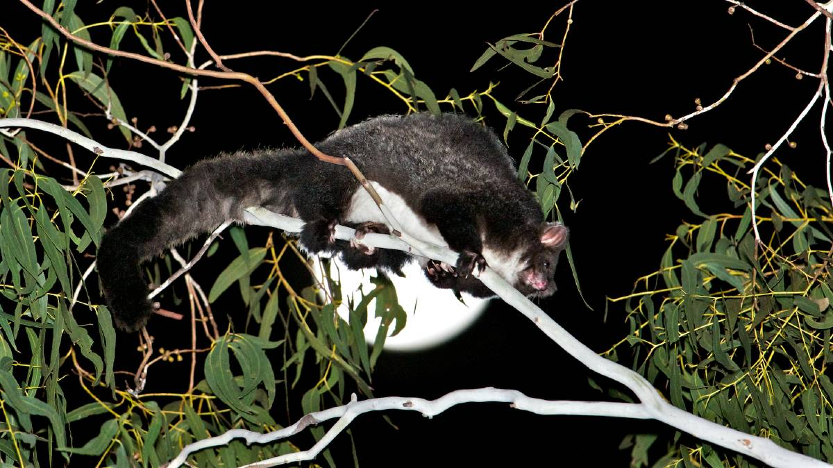 Greater gliders are known as an indicator species, pointing to the health and diversity of the forest. Photo: David Gallan